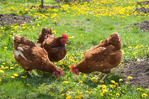 egg-laying hens in the yard